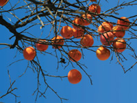 "Common Persimmons - Diospyros translates from the Greek as ""food of the  Gods,"" and it may come as no surprise that the common persimmon  tree is most well known for the delicious orange fruit that it  produces in the fall."