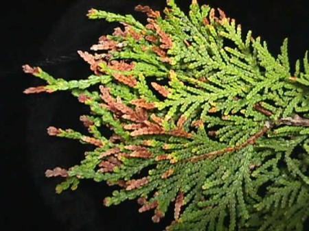 diseased pine needles