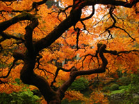 Japanese Maple Tree Protection