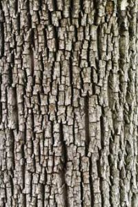 The History And Modern Uses Of Bark Savatree Tree And