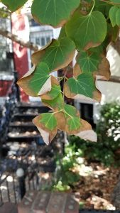 leaf scorch washington dc