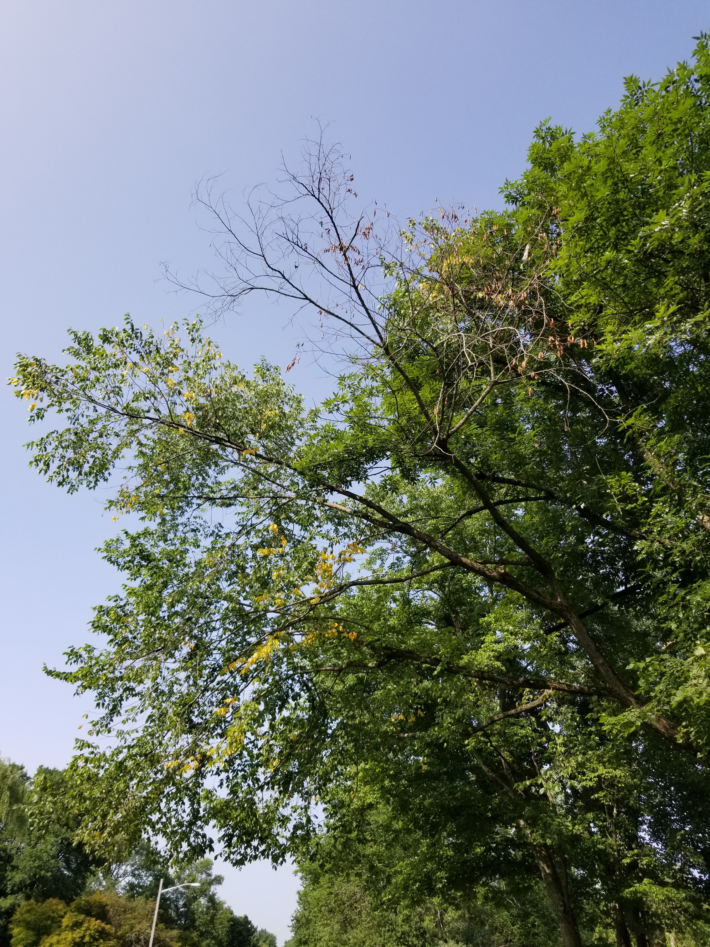 dutch elm disease treatment in livingston nj